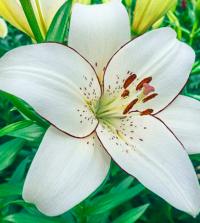LA Lily- white