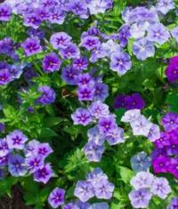 Phlox- blue/violet