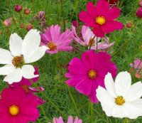 Cosmos- pink and white