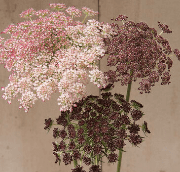 'Dara' Queen Anne's Lace- mauve, pink. and white mix