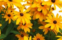 Black Eyed Susan- yellow