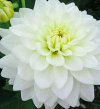 Dahlia- white